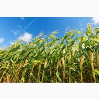 Гибрид Фризби ФАО 260 семена кукурузы