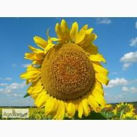 Продам насіння соняшнику Ларісса від оригінатора і виробника
