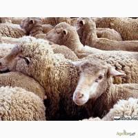 Продам овец, оптом, бараны, ярки, матки