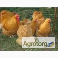 Інкубаційні яйця курей породи Орпінгтон, Кохінхіни, Леггорн, Ломан браун, Майстер