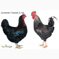 Цыплята Доминант