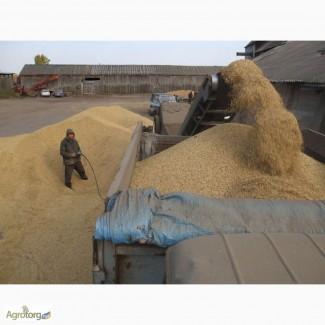 Закупаем пшеницу классовую и фуражную. Вся Украина
