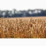 Подолянка пшеница озимая семена