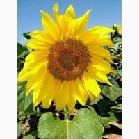 Семена подсолнечника Златсон(F1)