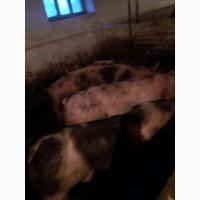 Продам мясных свиней (с доставкой )