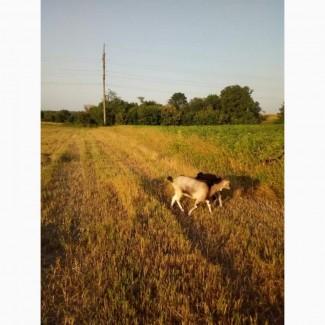 Продам молодняк коз от 1-го месяца