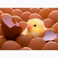 Продам инкубационное яйцо Испанка, Редбро, Мастер Грей, Бройлеров выход от 80 %
