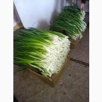 Продам зеленый лук есть объемы