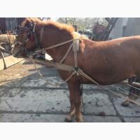 Продам молоди кони по 2 роки жеребець і лошиця жеребець торієць