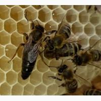 Продам чистопородні плідні, бджоломатки( пчеломатки) Карпатської породи Вучковий тип