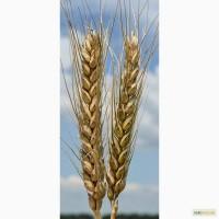 Семена озимой пшеницы Благодарка Одесская, 282-287 дней, урожайность 115-120 ц/га