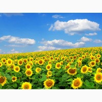 Семена подсолнечника под гранстар Солтан, 115-120 дней