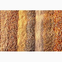 Купляємо кукурудзу травлену некондицію, крупку, мучку(відходи кукурудзи)