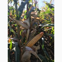Семена кукурузы ВН 6763 (ФАО 320) -10% скидки от производителя