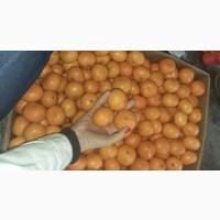 Продам мандарины Турция (Satsuma, Dubashi) Абхазия, Грузия Марокко (Клементины)