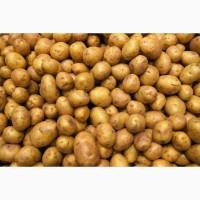 Покупаем картофель от 20 тонн по Тернопольской и Хмельницкой областях. Самовывоз