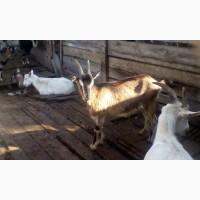 Продам молодняк коз