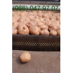 Семенной картофель оптом в Сумской области