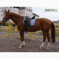Спортивні коні - Каюр, мерин