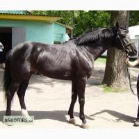 Спортивні коні, Каламбур. жеребець