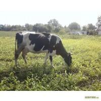Подам коров.