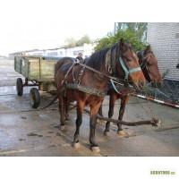 Продам пару рабочих лошадей