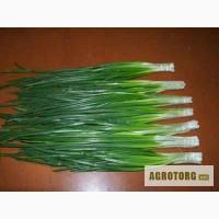 Продам лук зеленый-перо