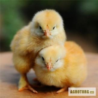 Продам цыплят бройлеров