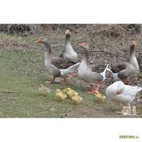 Продам взрослых гусей,выращенных на натуральных кормах.