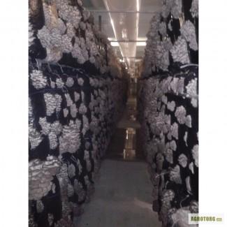 Продаю грибы ВЕШЕНКА оптом собственного производства