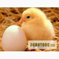 Продам цыплят. Возраст три недели