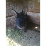 Кролики: рекс, французький баран, новозеландці