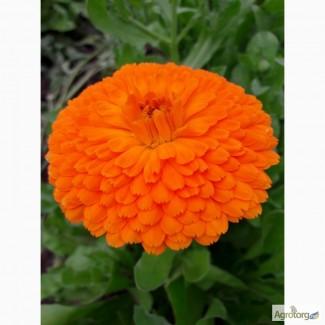 Календула. Цветы календулы лекарственной махровой