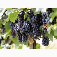 Продам виноград Одесский черный, Мерло