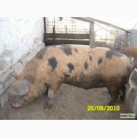 Мясо хряка