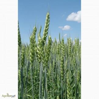 Продаем семена пшеницы-двуручки сорт Шестопаловка. Элита и 1 репродукция