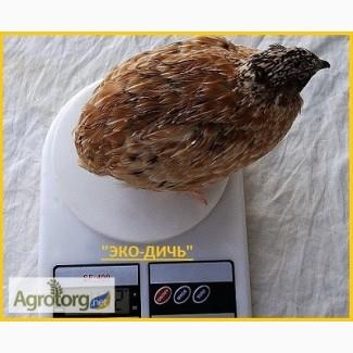 Яйцо инкубационное перепела Феникс Золотистый - бройлер и молодняк