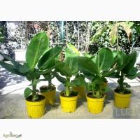 Продам саженцы Банана (комнатное растение)