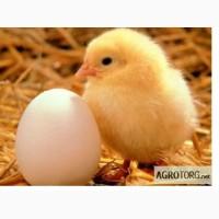 Реализуем яйцо инкубационное куриное Адлер серебристый