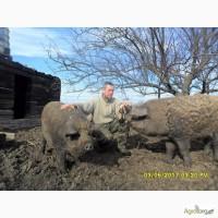 Кнур и свиноматки мангала на племя. Недорого, Апостолово
