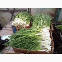 Опт зеленый лук от производителя до 1тона в день