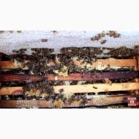 Пчеломатки Карника F1