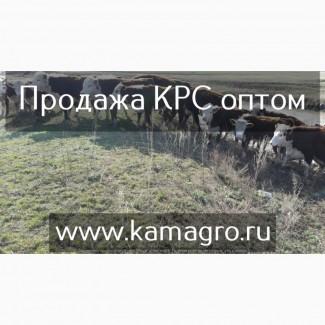 Крупно рогатый скот живым весом - Племенные нетели молочных и мясных пород