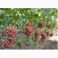 Виноград в большом количестве