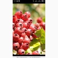 Закупаем боярышник цвет с лтистом сушеный и ягоду.Закупаем круглый год
