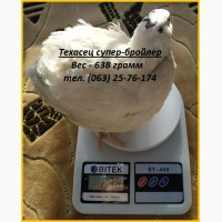 Яйца инкубационные перепела Техасец (USA)
