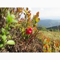Брусника свежая Карпат высокогорная 1400 м