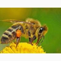 Продаю пчел, пчелопакеты