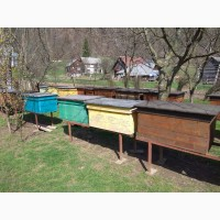 Продам бджоли карпатської породи