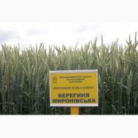 Семена озимой пшеницы Берегиня Мироновская, 82-113 ц/га